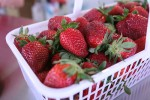 N.C. strawberry growers expect early season